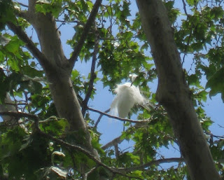 Egret preening feathers in a tree, Mountain View, California