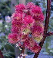 Seeds of Ricinus communis 'Carmencita', bright pink spikey spheres, like fluorescent burrs
