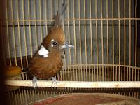 Burung Cililin spesialis master Murai