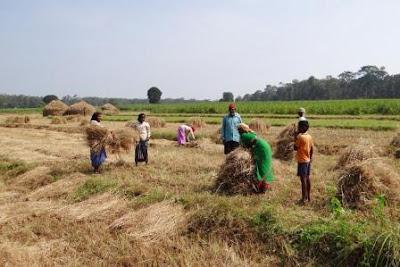 Contoh Limbah Pertanian, Jenis, Dampak, & Penanganan
