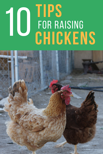 10 Tips to Raising Backyard Chickens
