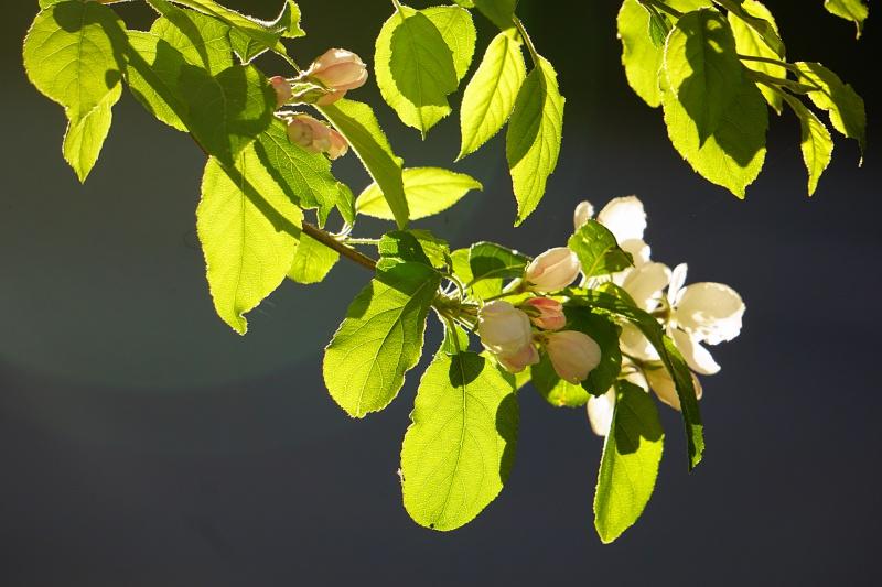 koristeomenpuu, omenapuu, omenankukat