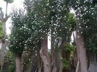 jual pohon melati yasmin jakarat