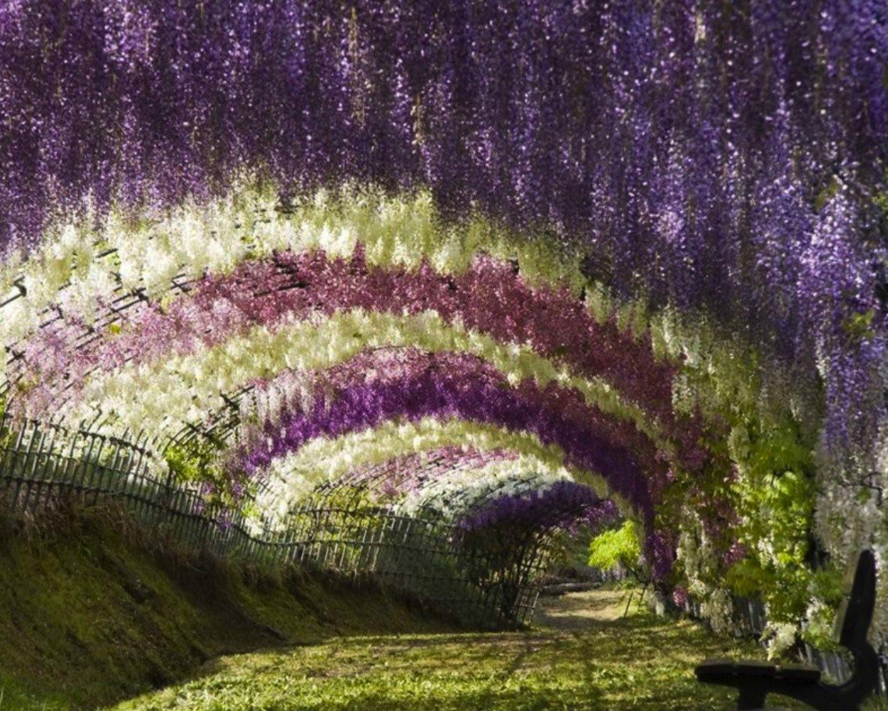 海外の人たちも魅了!!藤の花に覆われた…おとぎ話のような ...