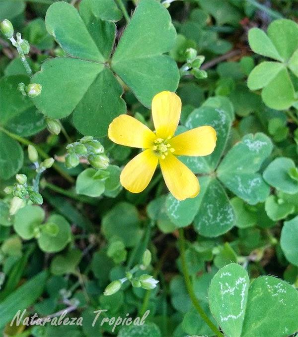 Variedad amarilla de la flor de Oca, género Oxalis