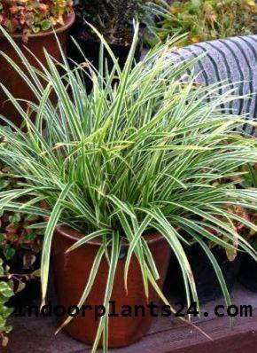 Carex Morrowii ' Variegata' Cyperaceae Japanese Sedge Grass plant image
