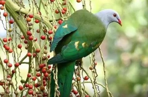 Τα ποιο όμορφα είδη περιστεριών: Όταν η φύση έχει κέφια video