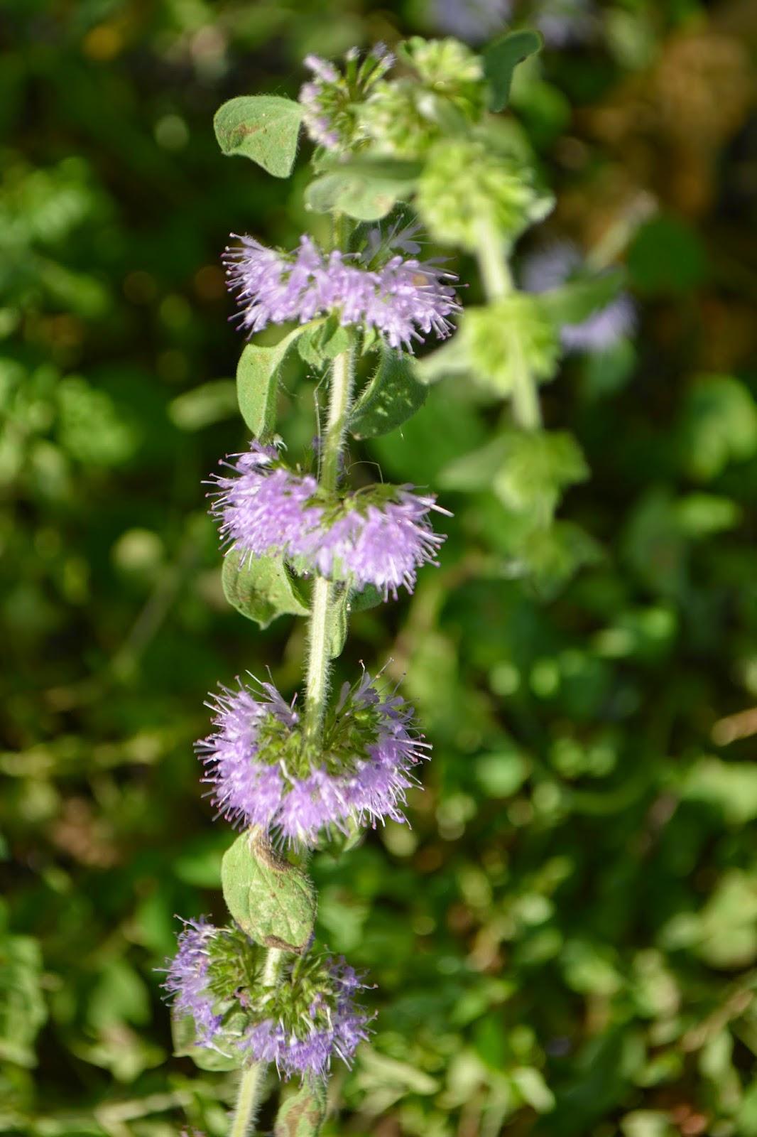Poleo, menta, cubresuelo perfumado entre el pasto. Semisombra. Flor.
