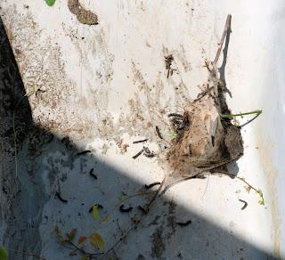 The caterpillar nest being taken for burning