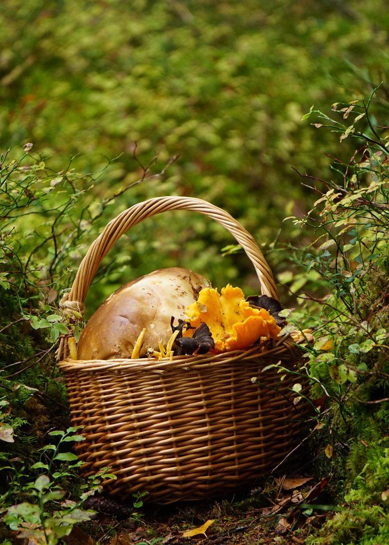 sienet, metsässä, tatit, kanttarellit