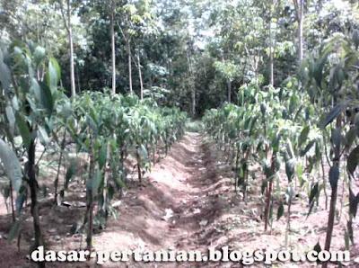 Manfaat Pemberian Tiang Ajir Pada Tanaman Cabai