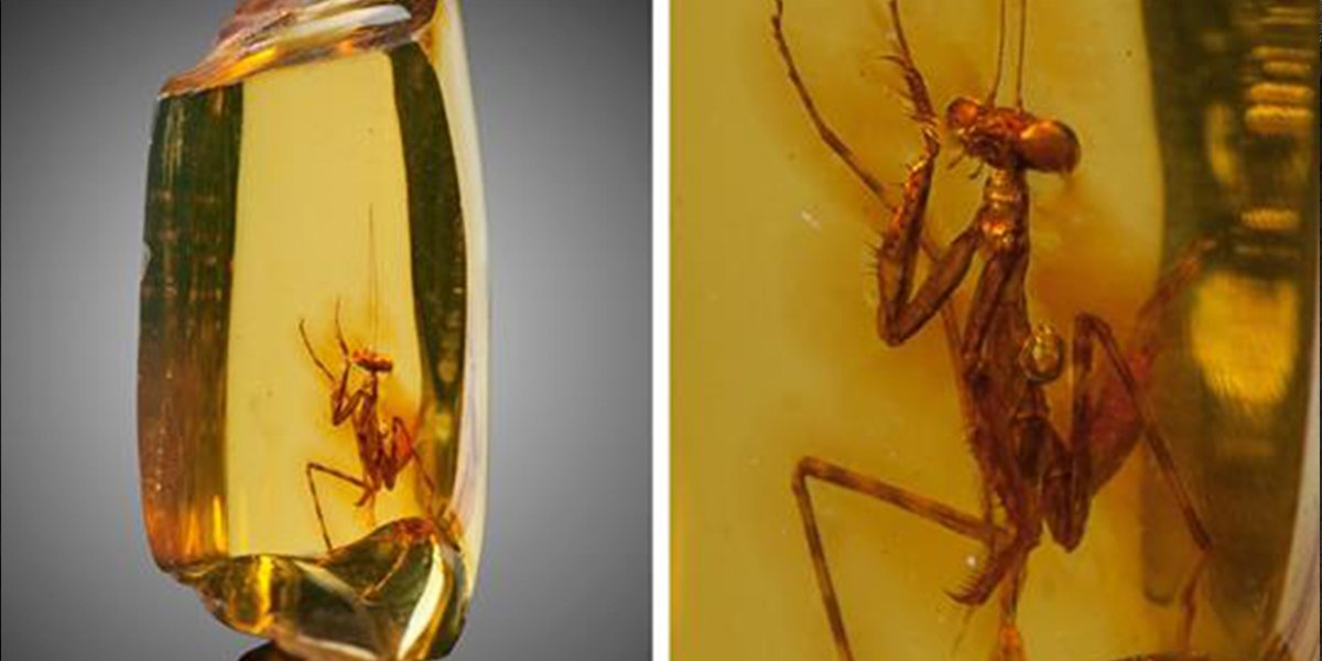 Over 20-Million-Year-Old Praying Mantis Was Perfectly Preserved In An Amber