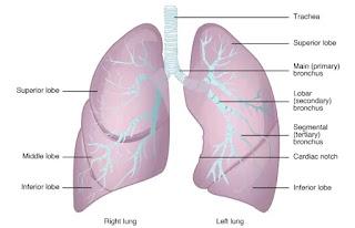 Paru-paru adalah piramida, organ berpasangan yang terhubung ke trakea oleh bronkus kanan dan kiri, pada permukaan inferior, paru-paru dibatasi oleh diafragma
