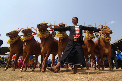 Wisata Budaya Kerapan Sapi