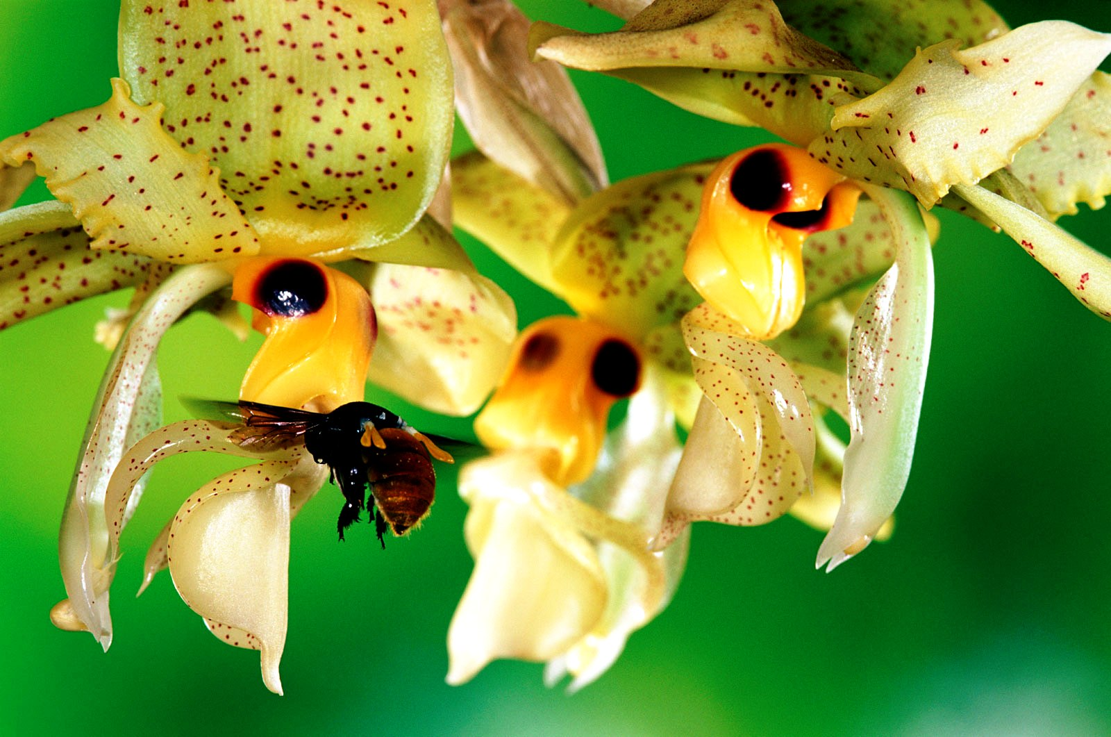 bees and orchids relationship