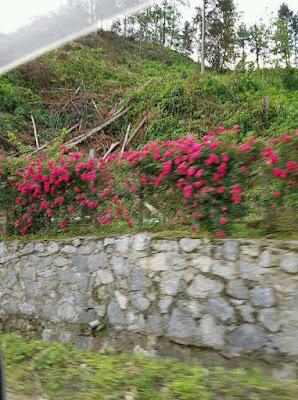 hoa hồng leo sapa được trồng tại công viên