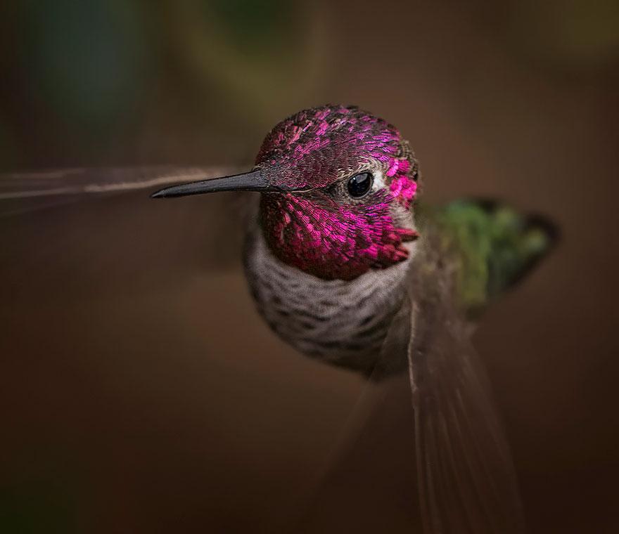 Anna's Hummingbird-1
