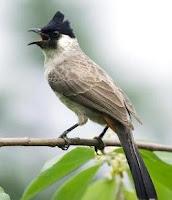 Burung Kutilang Jantan