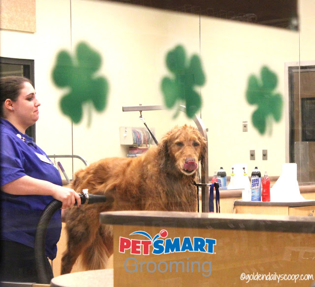 dog grooming, golden retriever grooming, PetSmart, Spring Makeover