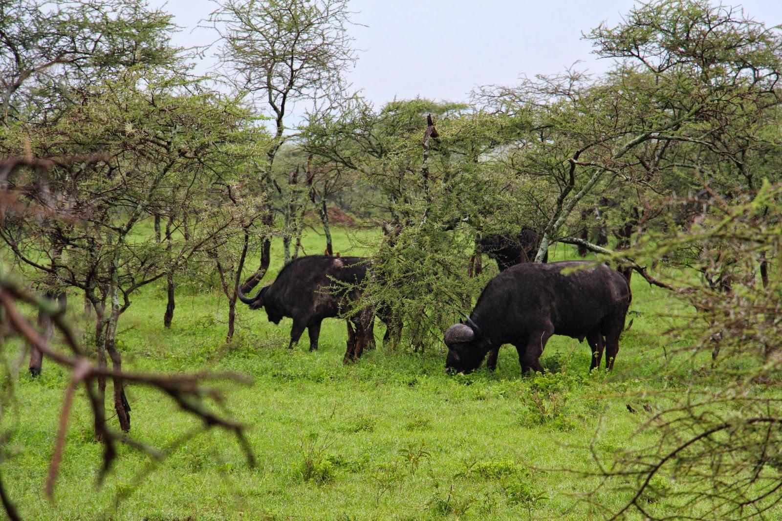 Os BÚFALOS e os pássaros - Uma relação de amizade no Serengeti   Tanzânia