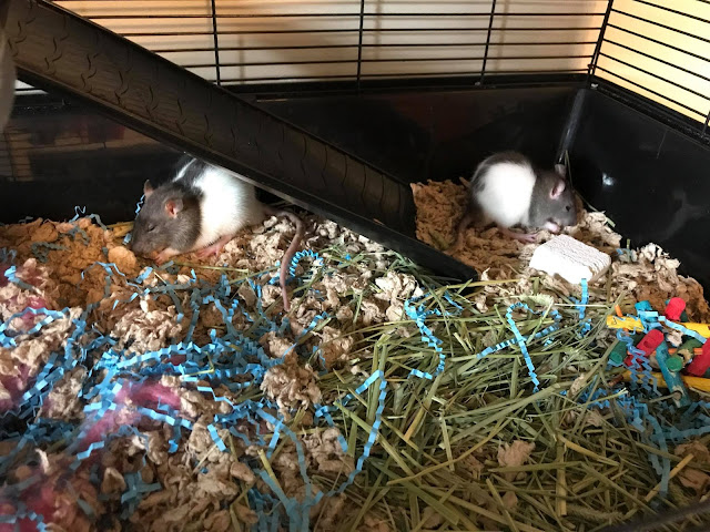 pet rats eating food in separate corners of their cage