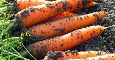 Новые подходы к агротехнике моркови