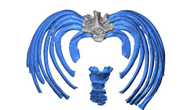 Study reconstructs Neanderthal ribcage, offers new clues to ancient human anatomy