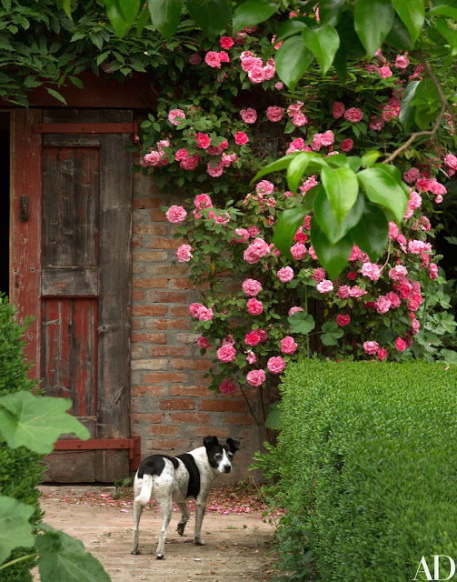 Black and white dog Rachetta near rustic farmhouse door with pink roses
