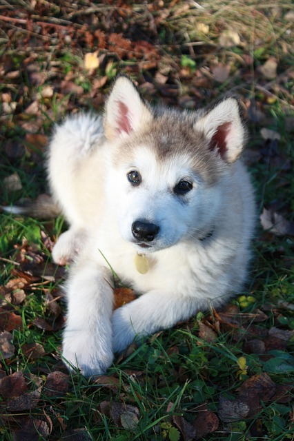 Top 10 awesome facts about Alaskan Malamutes.