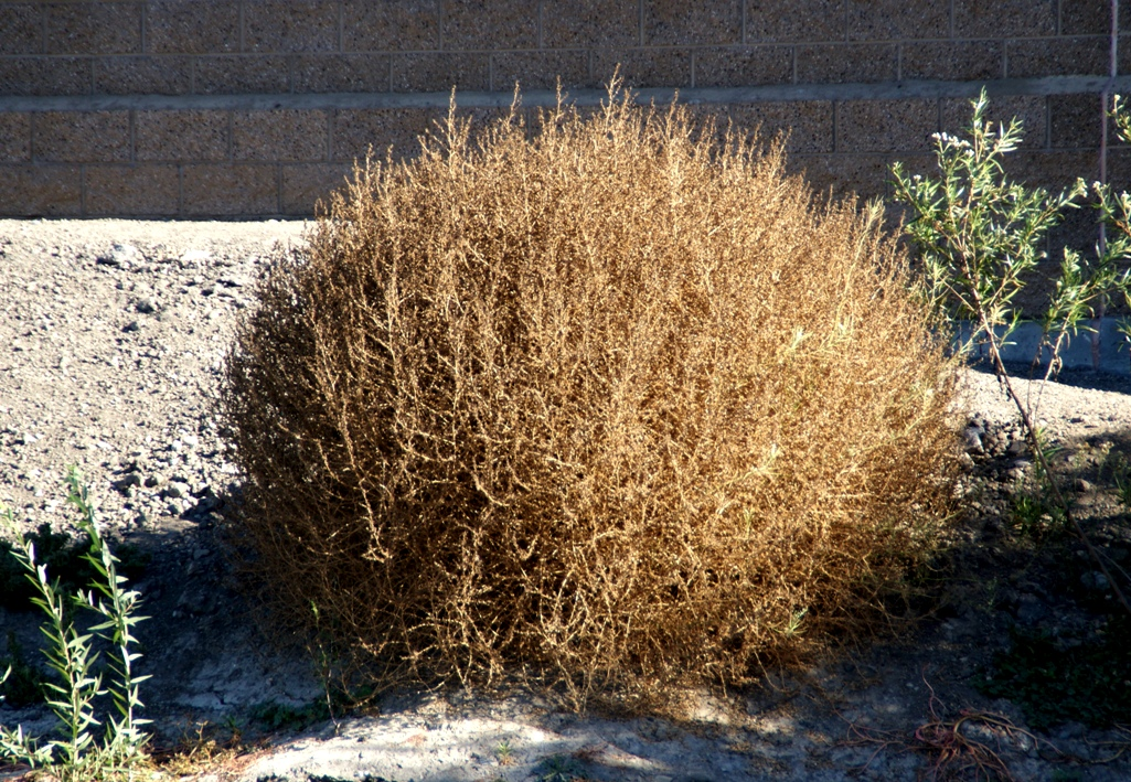 A Photo, A Thought............: Plant: Tumbleweed