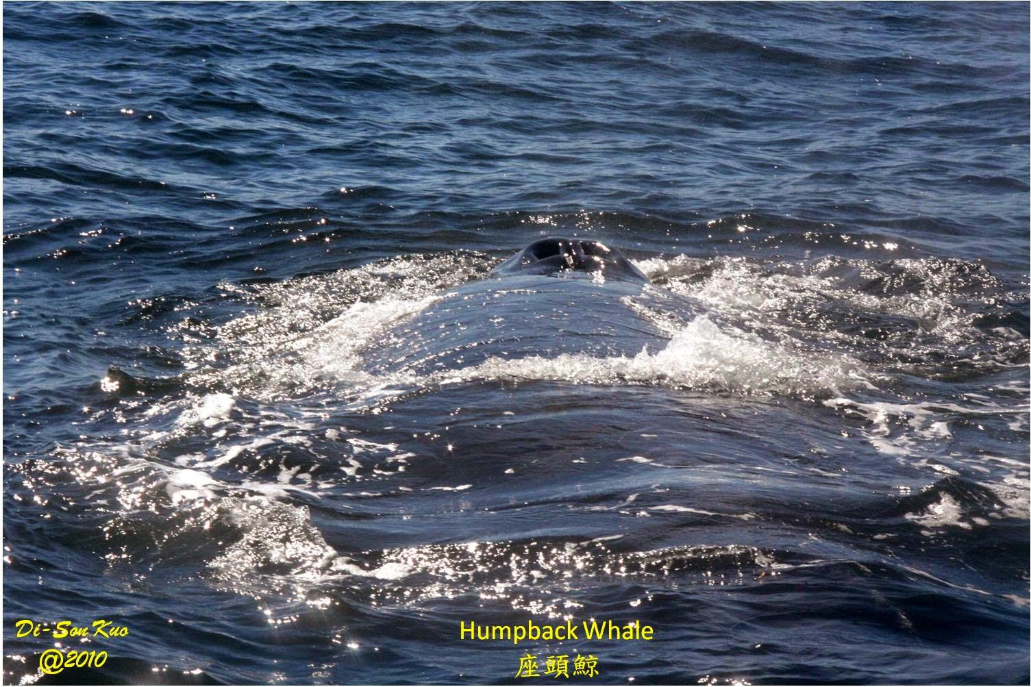 行雲隨筆: 舊金山附近的鯨魚和海豚 (二)