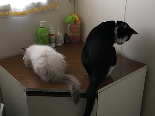 Princess, seal point ragdoll kitten, and Mr Bumpy, adult black and white domestic shorthair cat, eating out of bowls.