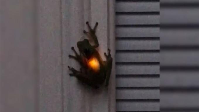 Una rana brilla 'desde dentro' después de tragarse una luciérnaga
