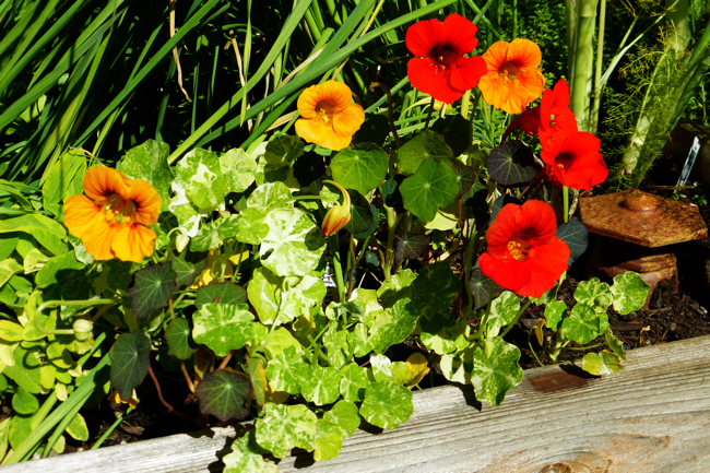 Baker Creek Heirloom Seeds, Empress of India, nasturtium, edible flowers, herb bed, garden