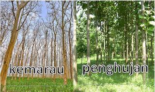 Tujuan Pohon Jati Menggugurkan Daunnya Saat Musim Kemarau