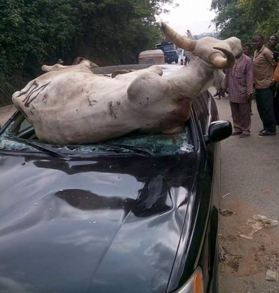 Couple escapes death after ramming into a cow while on high speed on the road (photos) | @Naijaphotos