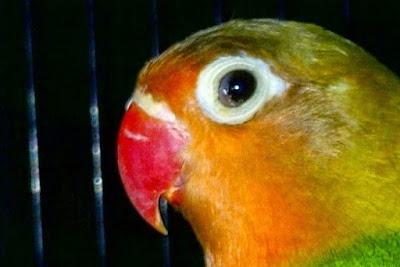 Manpaat Dan Kisaran Harga Terbaru Obat Burung Anti Snot Saat Ini
