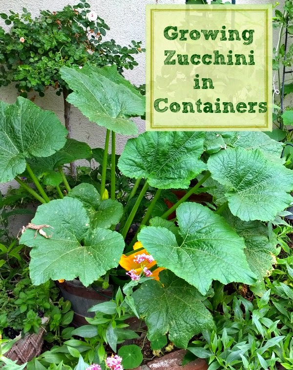 zucchini in half barrel, container vegetable garden