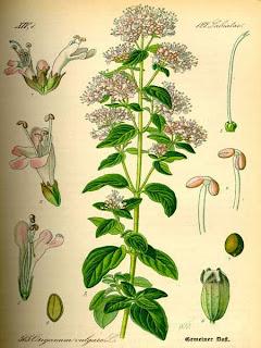 plantas-medicinales-del-bosque-mediterráneo