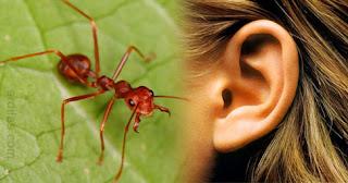 Tips Cara Mengatasi Kuping Yang Kemasukan Semut