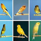 Ciri-ciri Burung Kenari Afrika