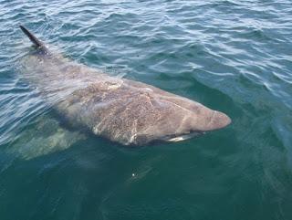 basking shark dari atas permukaan