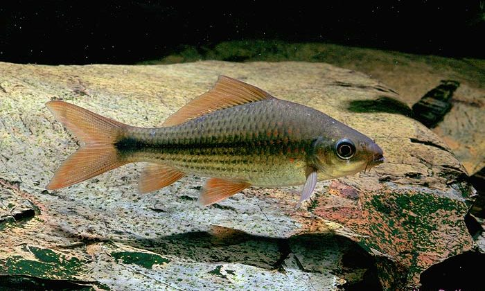 Ikan Nilem (Osteochilus hasselti) - Biota Dunia Perairan