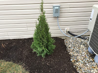 Thuja occidentalis 'Emerald Green'