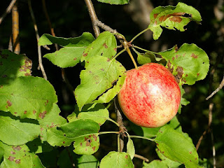 Pomme sur un Pommier - Malus domestica