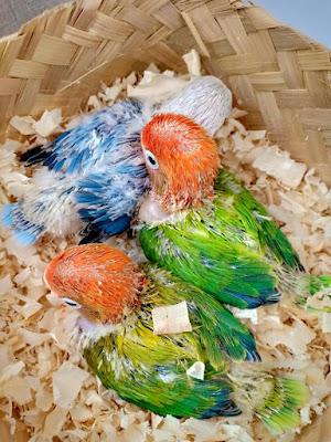 Tetap untung ternak Lovebird di 2019 #2019tetapbiola