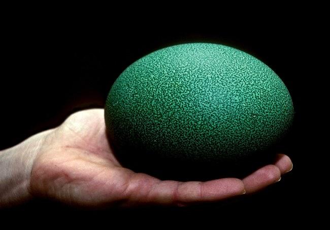 Cassowary Eggs