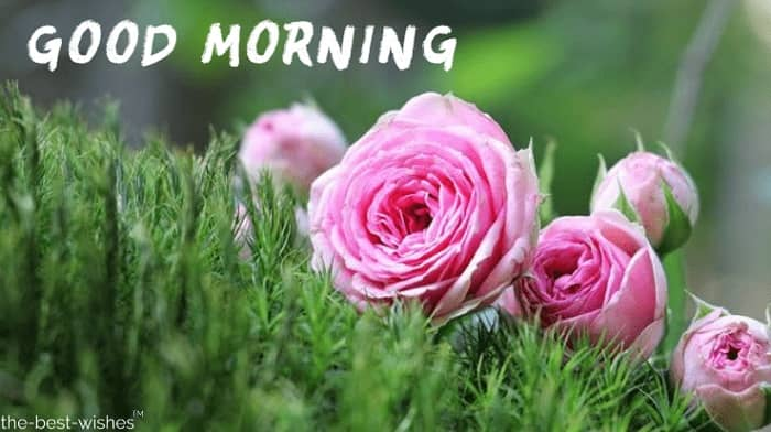 Good Morning Wishes Pink Rose Image