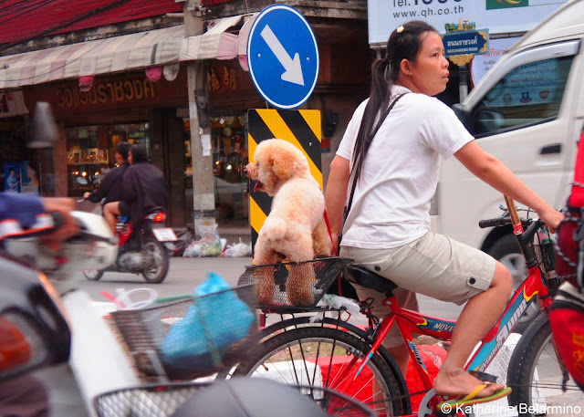 Bike Riding Dog in Chiang Mai Thailand
