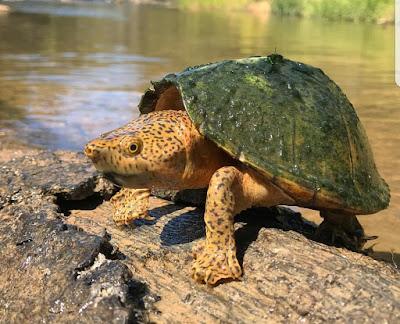Razorback Musk Turtle Si Kura-Kura Berpunggung Duri